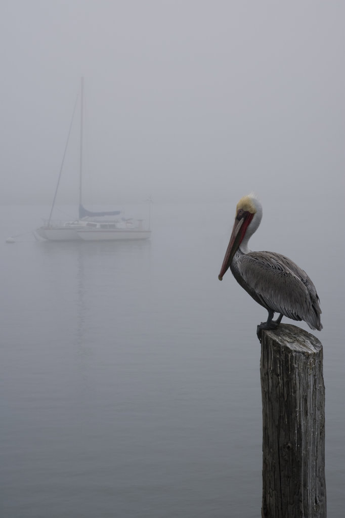 Pelican perching on a wooden post in fog, Morro Bay, California, USA : Stock Photo