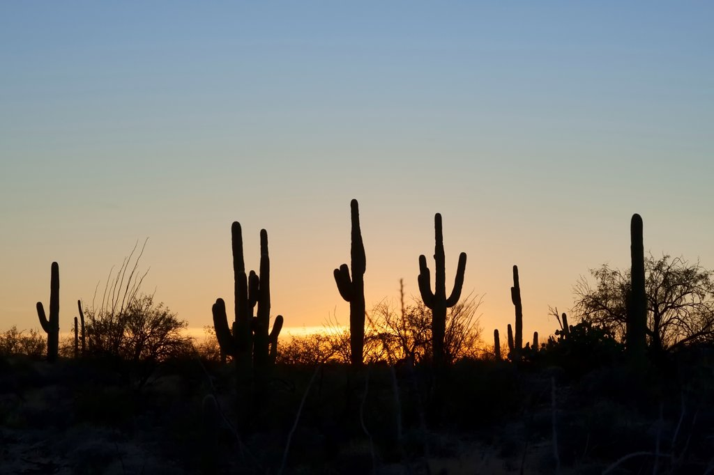 Stock Photo: 4116-358 Silhouette of Saguaro cactus (Carnegiea gigantea) in a desert, Saguaro National Monument, Tucson, Arizona, USA