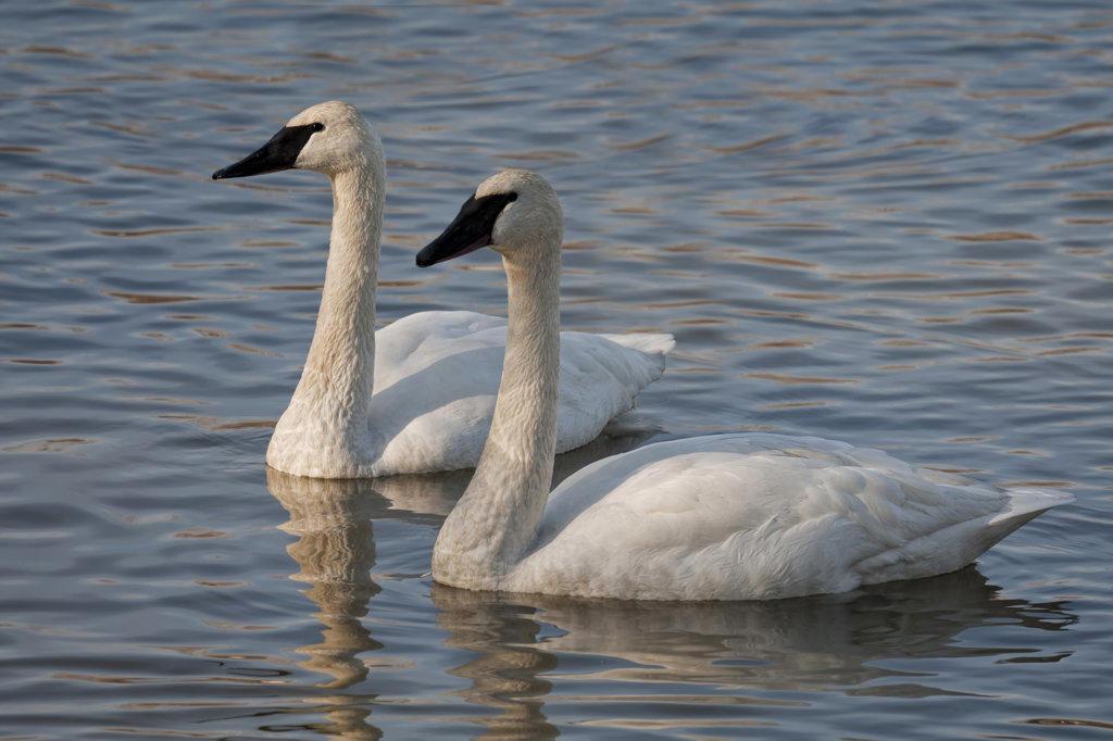 USA, Arkansas, Heber Springs, Trumpeter Swans (Cygnus buccinator) on Magness Lake : Stock Photo