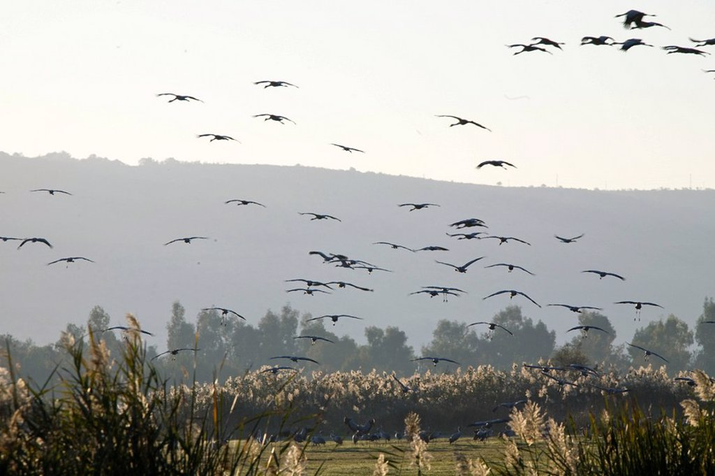 Photograph of Cranes flying above the Chula valley in the Upper Galilee : Stock Photo