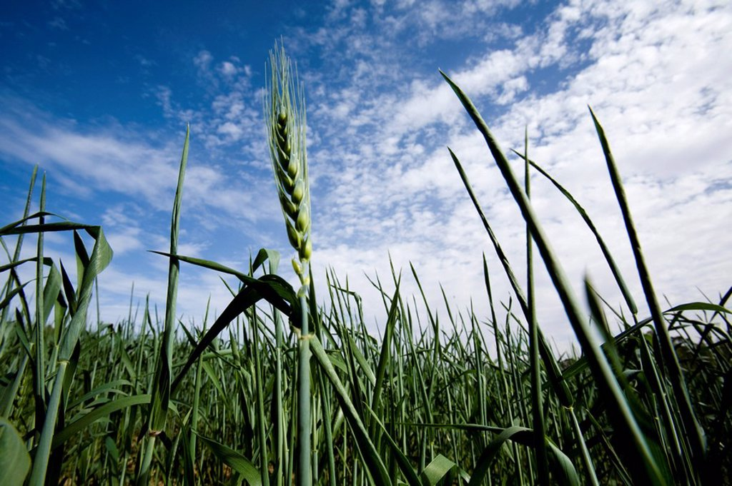 Stock Photo: 4119-7401 Photograph of a wheat field in the western Negev