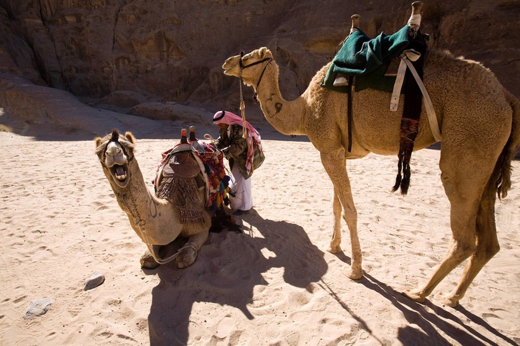 Photograph of camels in the Jordanian desert : Stock Photo