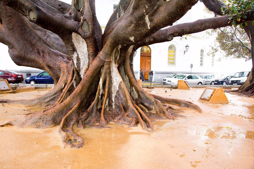 Photograph of a massive tree stump in the Spanish city of Cadiz Andalusia : Stock Photo