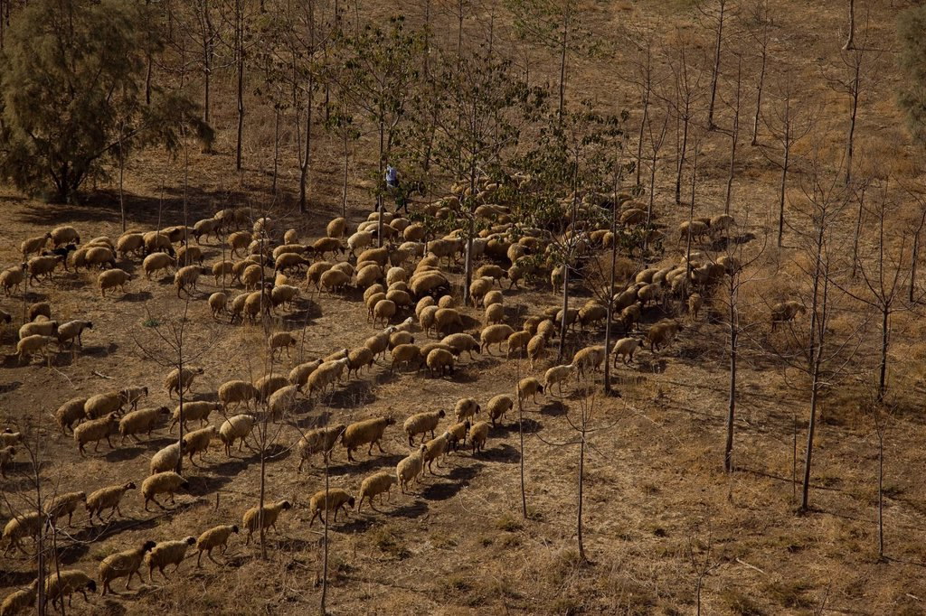 Aerial view of a flock of sheep at the northern Negev : Stock Photo