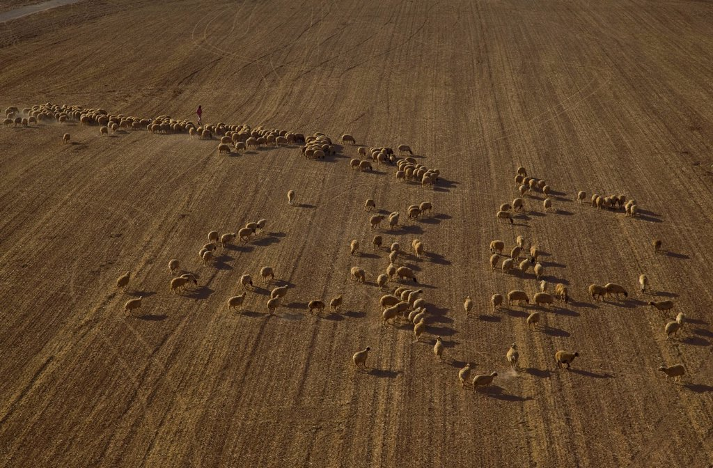 Aerial View of sheep in the North Negev : Stock Photo