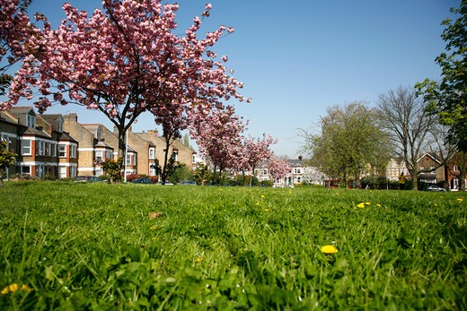 UK, London, Brockley, Hilly Fields, Cherry trees : Stock Photo