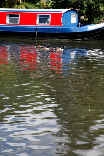 UK, London South Tottenham, Canada Geese (Branta canadensis) and boat on River Lea : Stock Photo