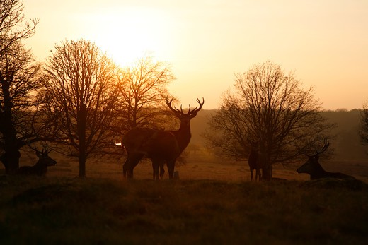 UK, London, Richmond Park, Deers silhouetted by setting sun near Spankers Hill Wood : Stock Photo
