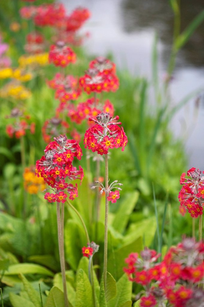 Primula flowers : Stock Photo