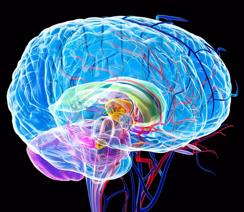 Brain anatomy, artwork : Stock Photo