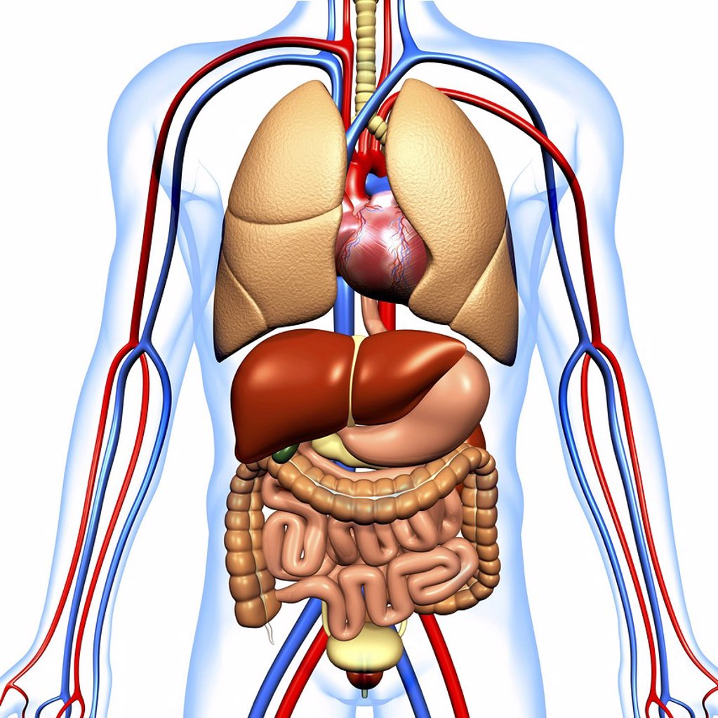Stock Photo: 4128R-14337 Computer artwork of the human anatomy seen from front. Depicted are: Digestive system: Liver, falciform ligament, gallbladder, stomach, pancreas, appendix, intestine, colon, rectum. Cardiovascular Circulatory System: Heart, veins & arteries. Respiratory S