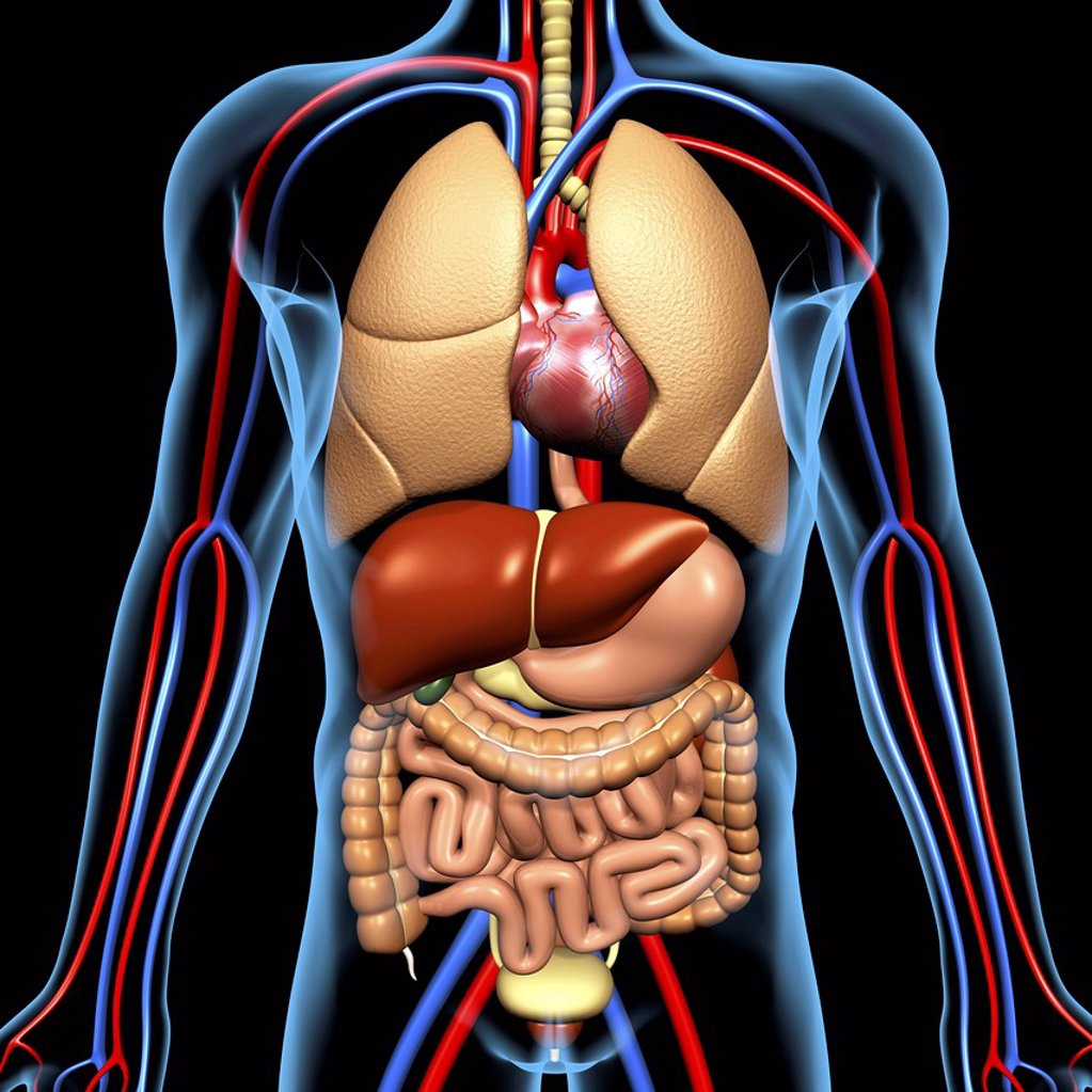 Computer artwork of the human anatomy seen from front. depicted are: Digestive system: Liver, falciform ligament, gallbladder, stomach, pancreas, appendix, intestine, colon, rectum. Cardiovascular Circulatory System: Heart, veins & arteries. Respiratory S : Stock Photo