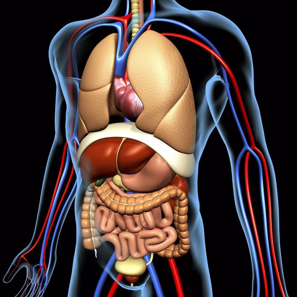 Stock Photo: 4128R-14644 Computer artwork of the human anatomy seen from front. depicted are: Digestive system: Liver, falciform ligament, gallbladder, stomach, pancreas, appendix, intestine, colon, rectum. Cardiovascular Circulatory System: Heart, veins & arteries. Respiratory S