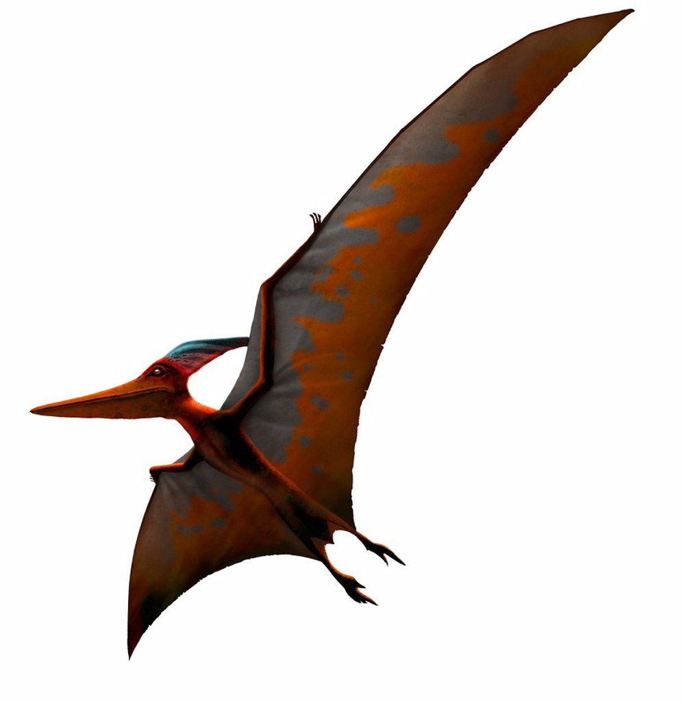 Stock Photo: 4128R-15030 Pteranodon meaning ´winged and toothless´ was one of the largest known pterosaurs, or flying reptiles, with a wing span of more than 6 metres 20 ft. It lived in North America at the end of the Cretaceous period, but vanished along with all other pterosaur