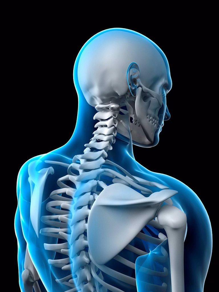 Stock Photo: 4128R-15879 Upper body bones, computer artwork.