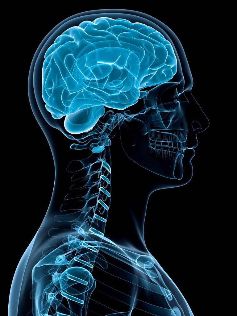 Head anatomy, computer artwork. : Stock Photo