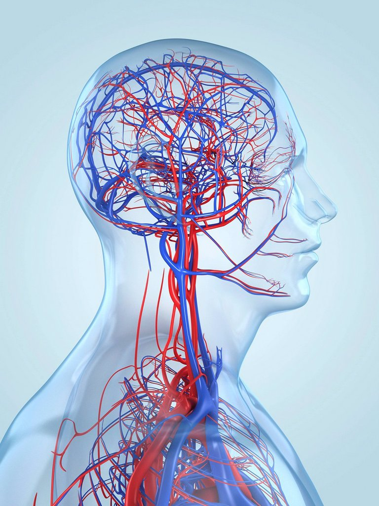 Vascular system, computer artwork. : Stock Photo