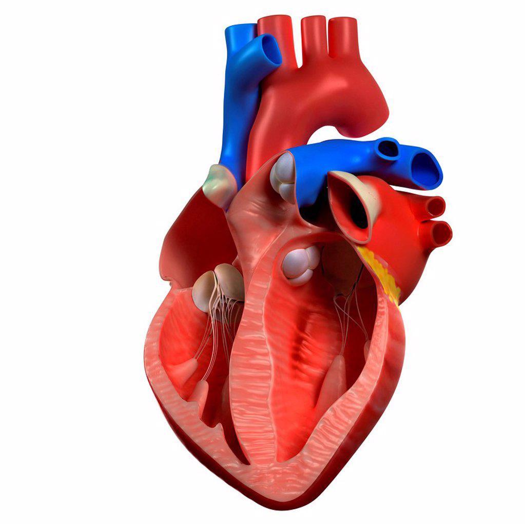 Heart anatomy, computer artwork. : Stock Photo