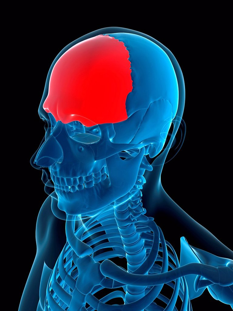 Frontal bone, computer artwork. : Stock Photo