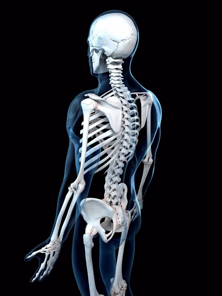Stock Photo: 4128R-18185 Human skeleton, computer artwork.