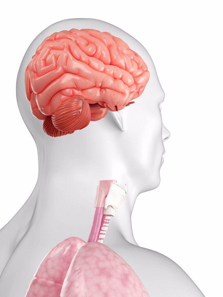 Stock Photo: 4128R-18366 Human brain, computer artwork.