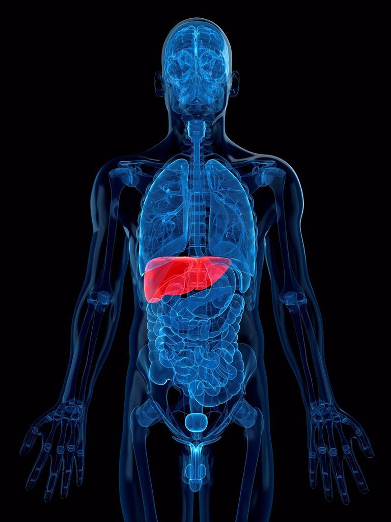 Stock Photo: 4128R-18374 Healthy liver, computer artwork.