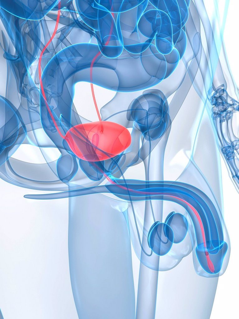 Healthy prostate gland, computer artwork. : Stock Photo