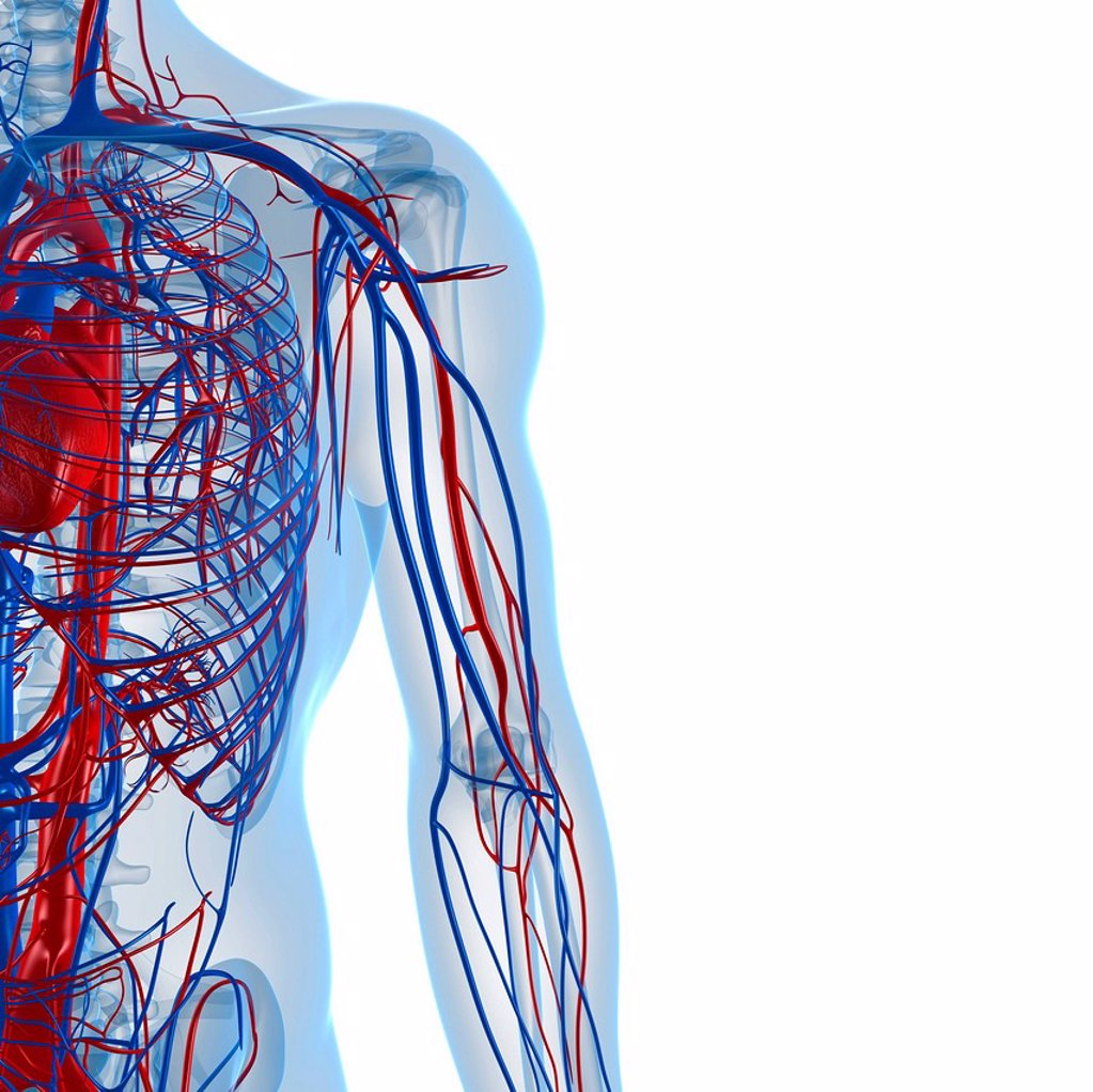 Cardiovascular system, computer artwork. : Stock Photo