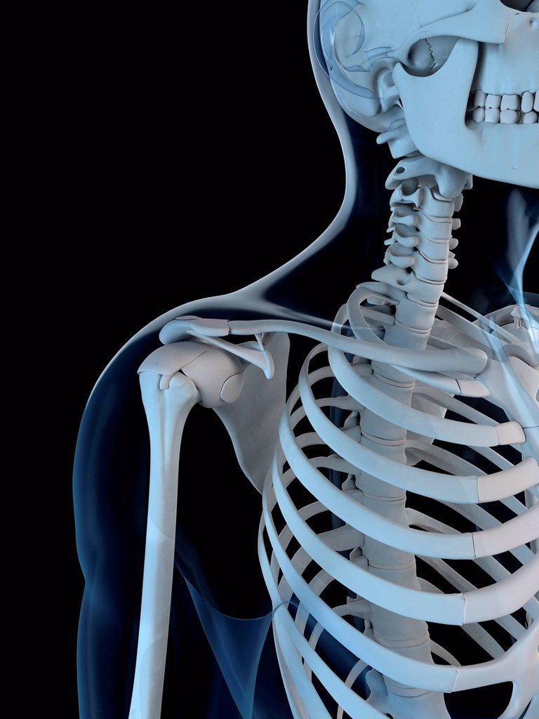 Upper body bones, computer artwork. : Stock Photo
