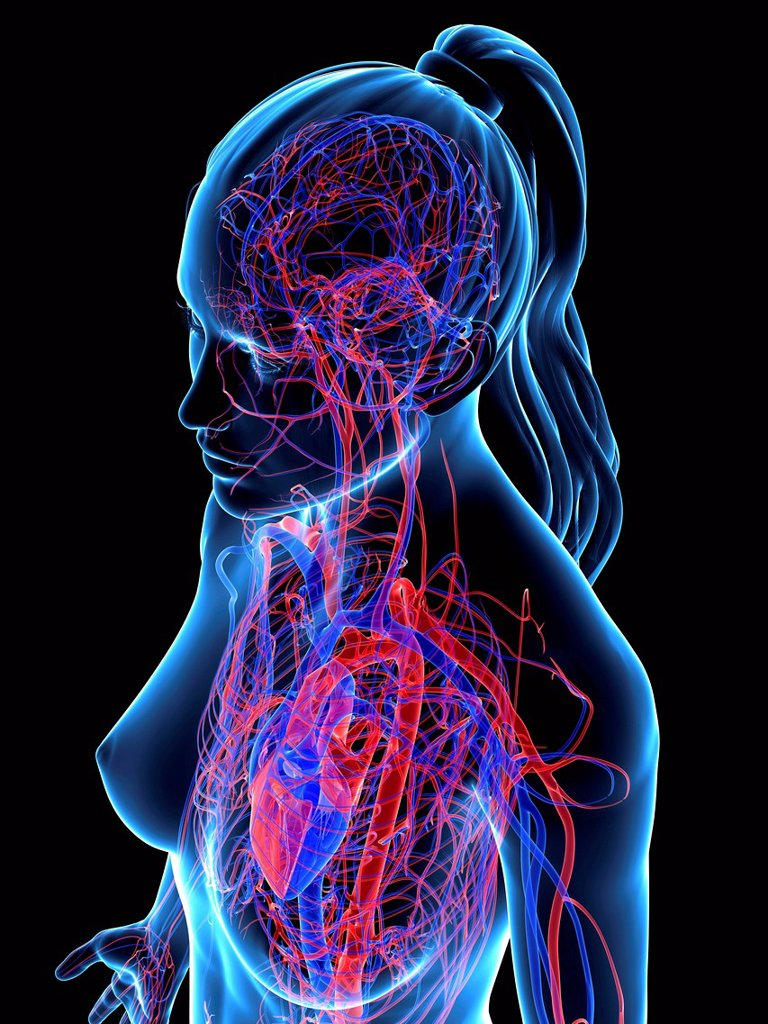 Stock Photo: 4128R-20226 Cardiovascular system, computer artwork.