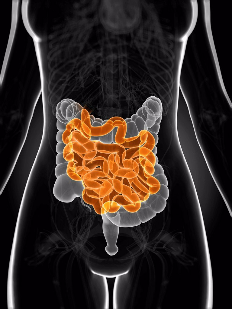 Stock Photo: 4128R-20374 Healthy small intestine, artwork