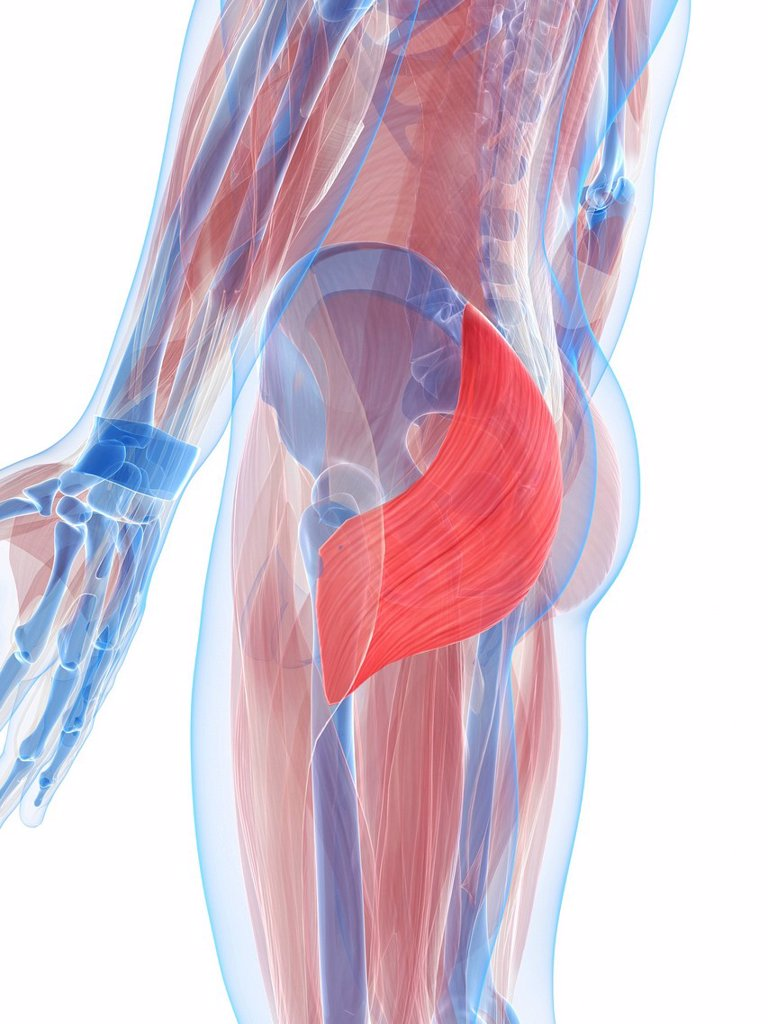 Gluteus maximus muscle, artwork : Stock Photo