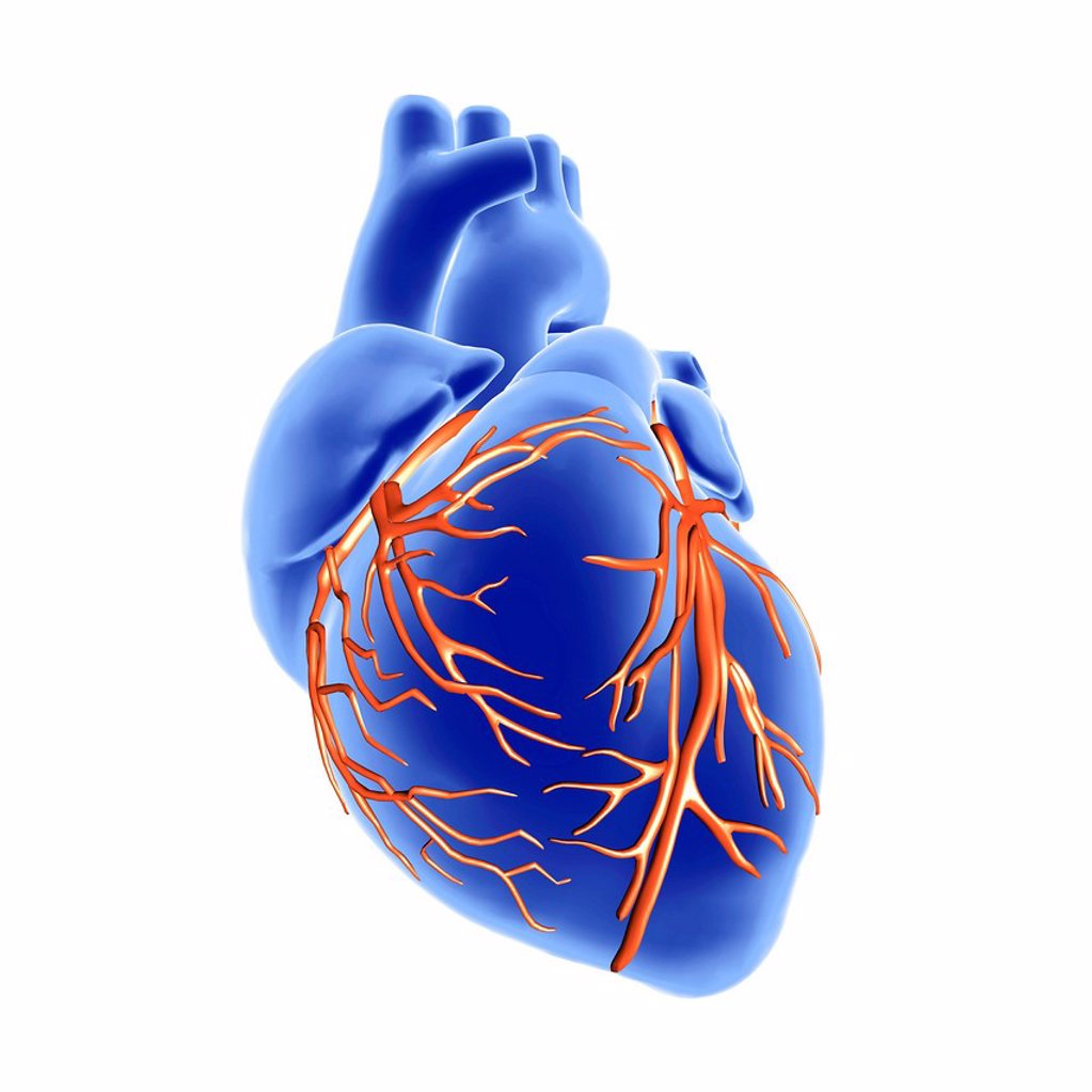 Heart and coronary arteries, artwork : Stock Photo