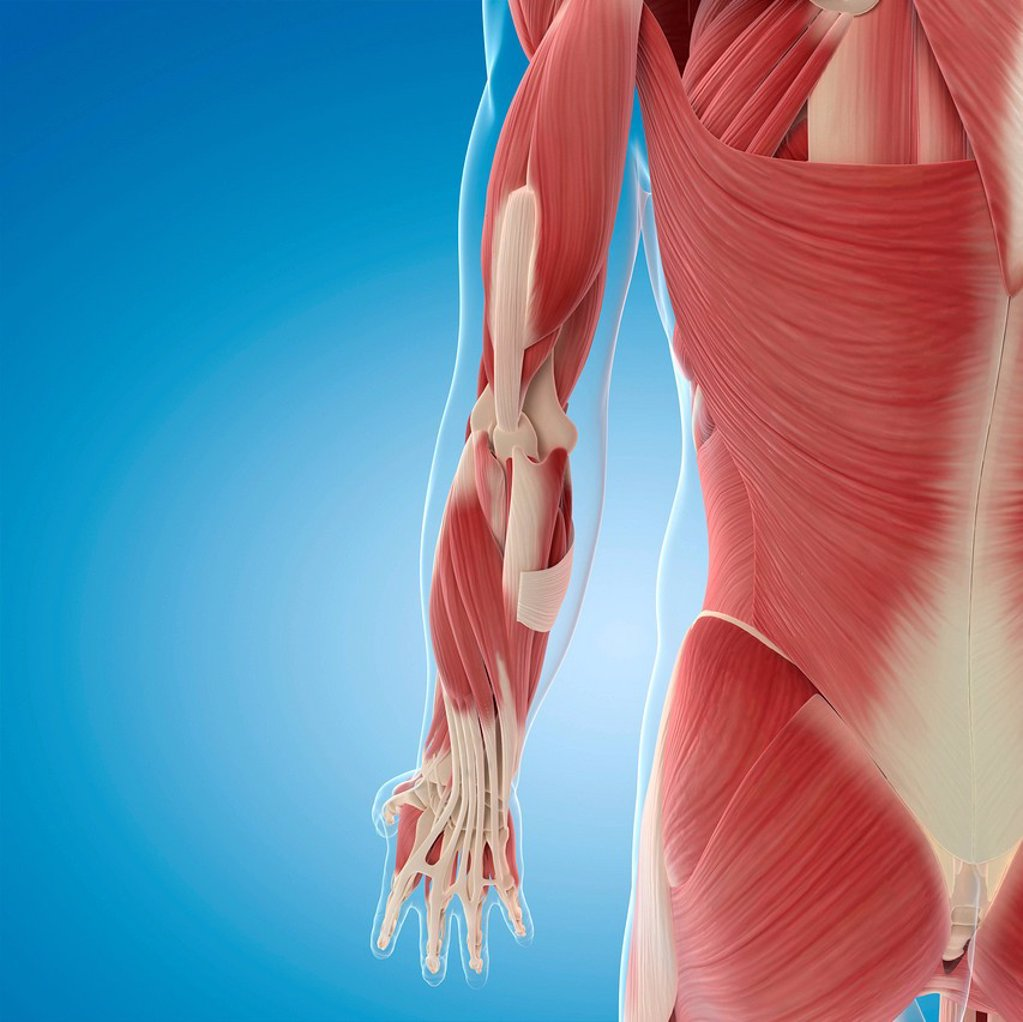 Stock Photo: 4128R-21601 Male musculature, computer artwork.