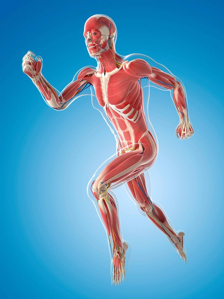 Stock Photo: 4128R-21608 Male musculature, computer artwork.