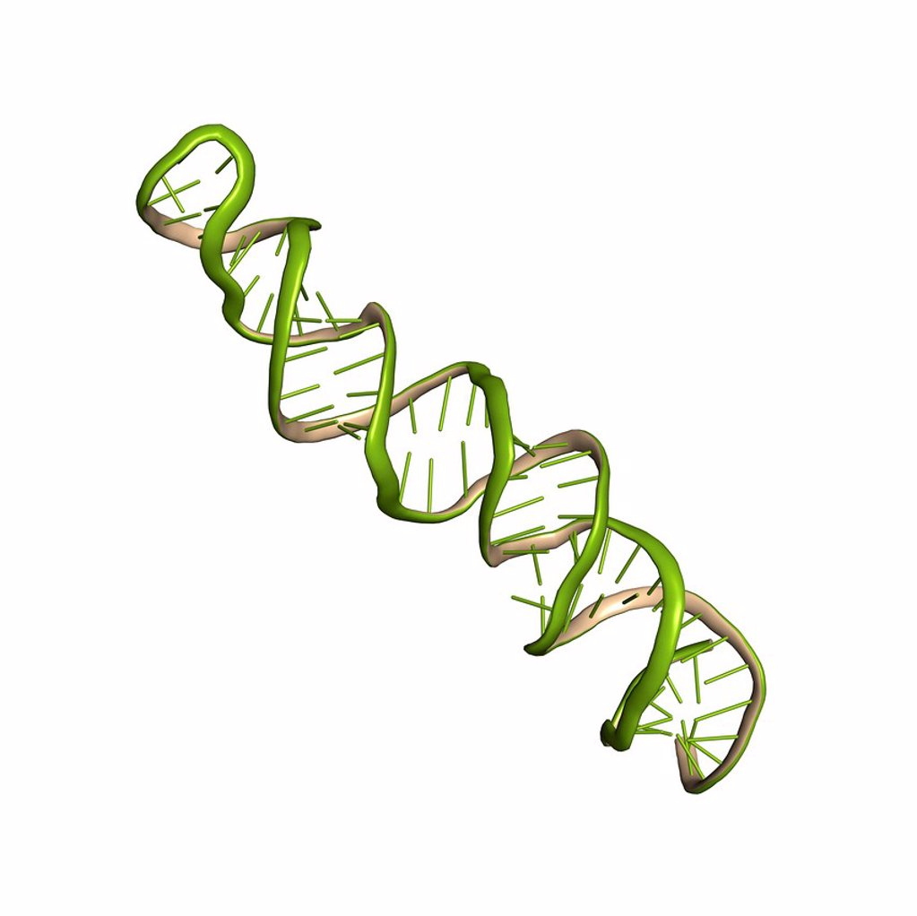 Stock Photo: 4128R-23196 MicroRNA miRNA precursor, molecular model. This miRNA micro ribonucleic acid precursor will be further processed into an even shorter mature miRNA oligonucleotide that can regulate the expression of a target gene. The precursor shown here is the human miR_17 stem_loop hsa_mir_17, which is believed to play a role in several types of breast cancer.