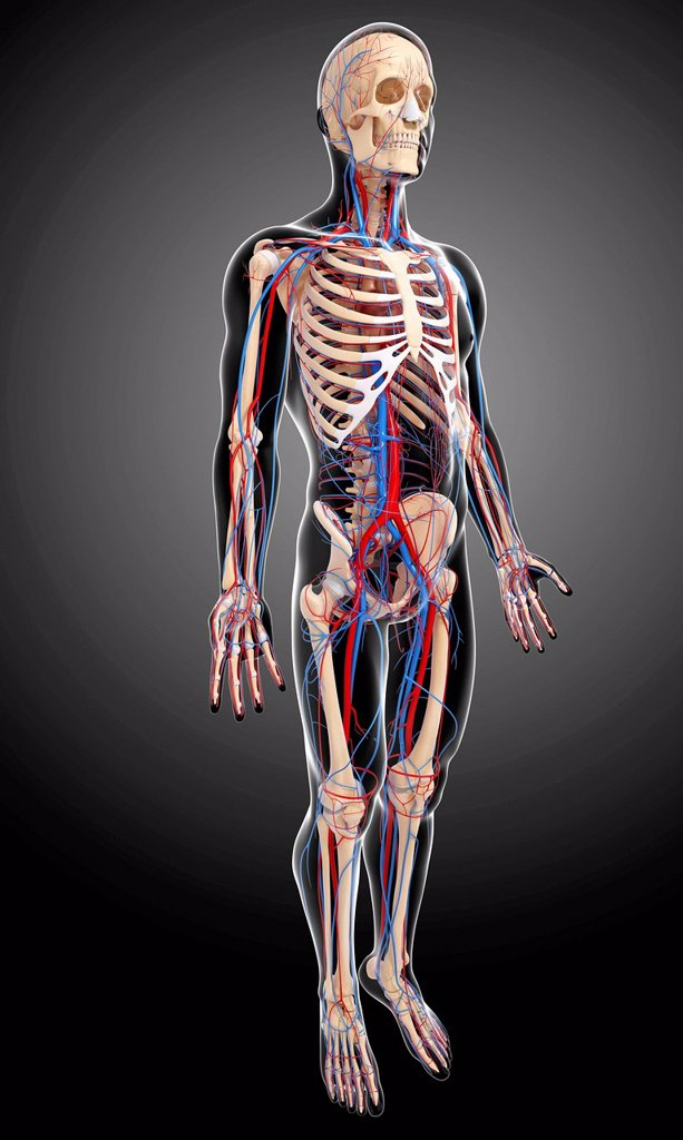 Stock Photo: 4128R-23955 Human anatomy, computer artwork.