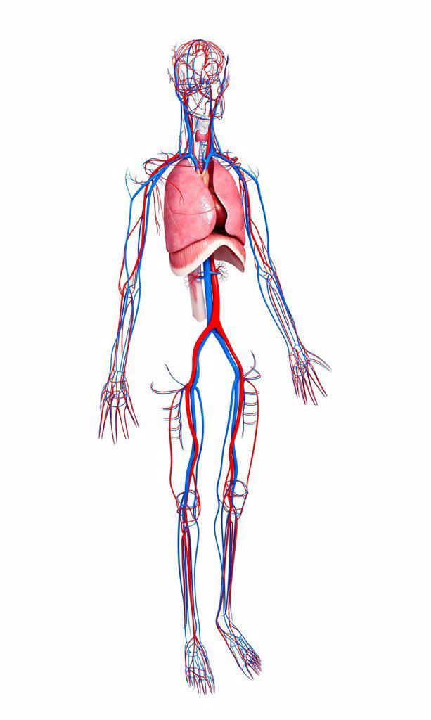 Stock Photo: 4128R-28553 Human anatomy, computer artwork.