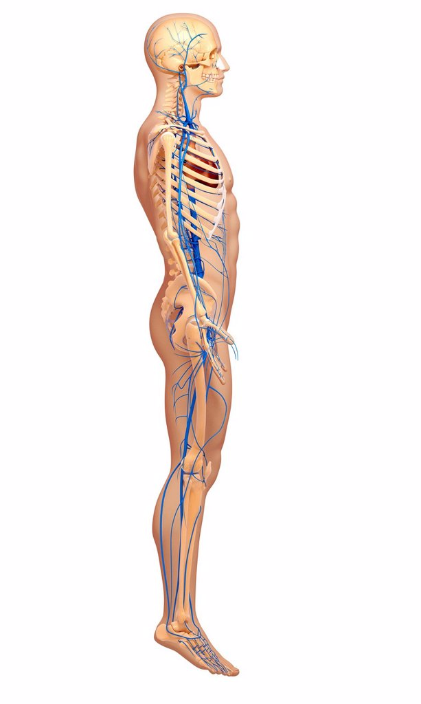 Stock Photo: 4128R-29413 Human veins, computer artwork.
