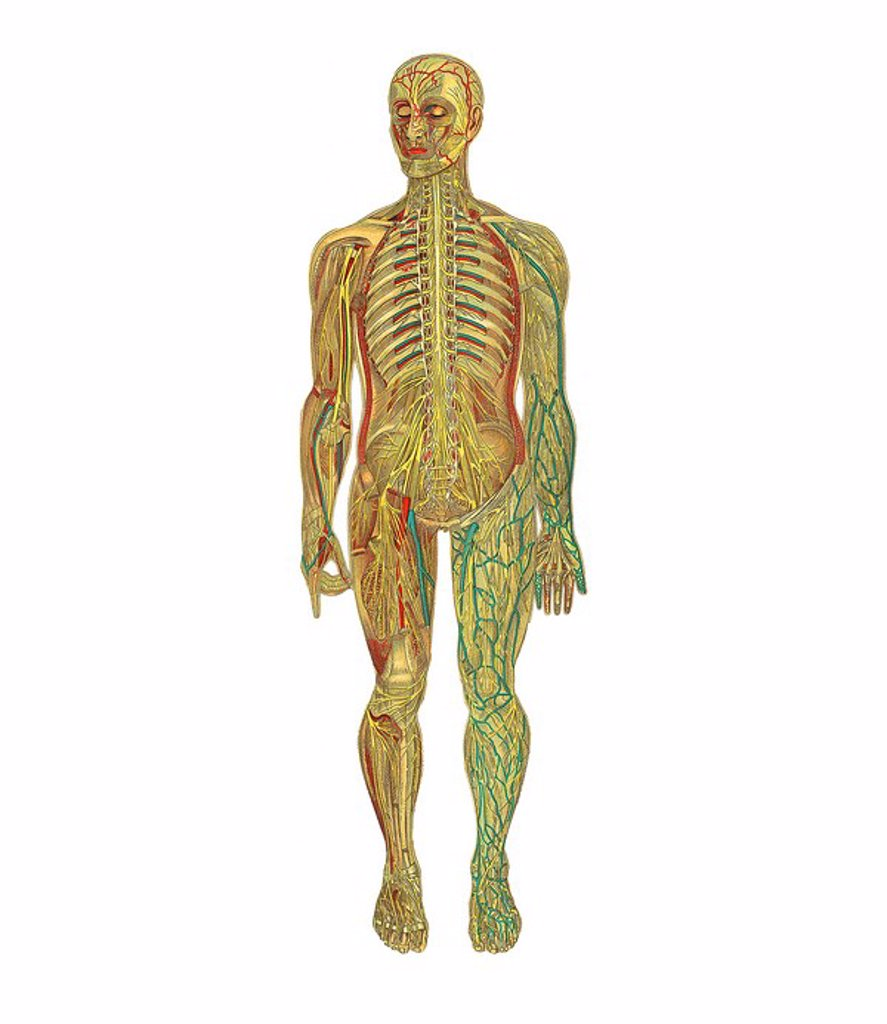 Stock Photo: 4128R-7263 Human anatomy, artwork.