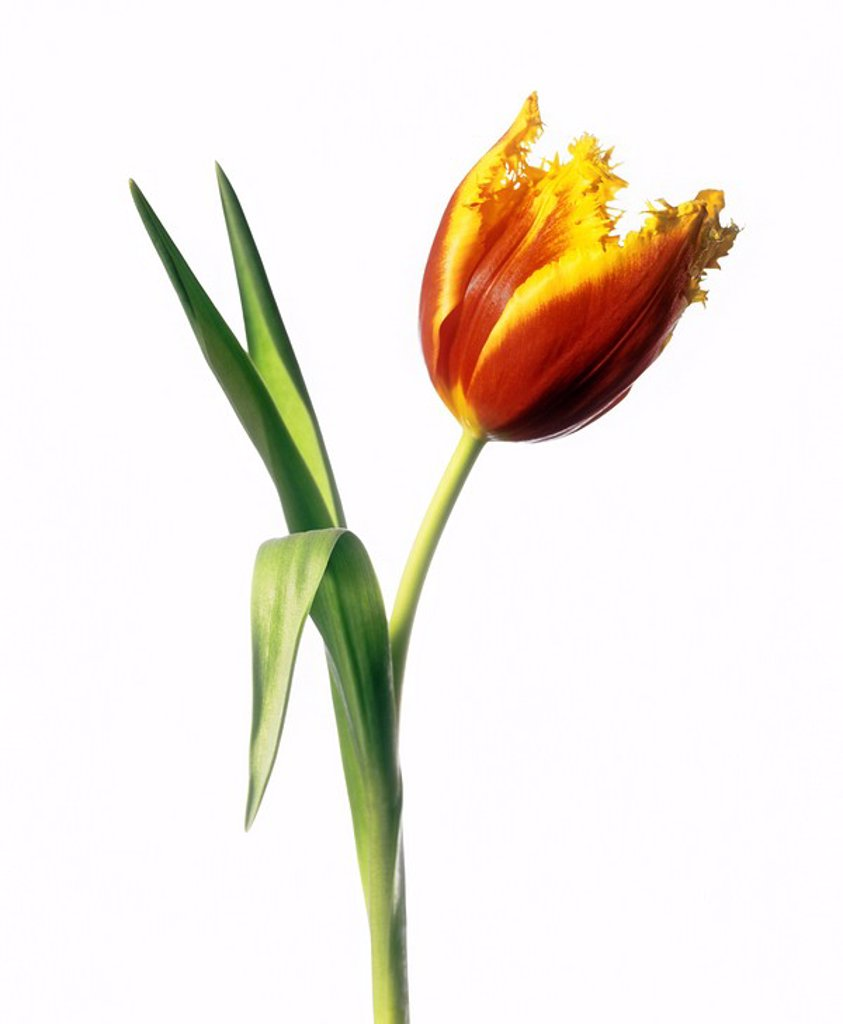 Stock Photo: 4128R-8581 Parrot tulip Tulipa sp.