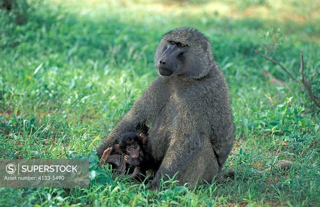 Stock Photo: 4133-5490 Anubis Baboon Papio anubis Samburu Game Reserve Kenya Africa