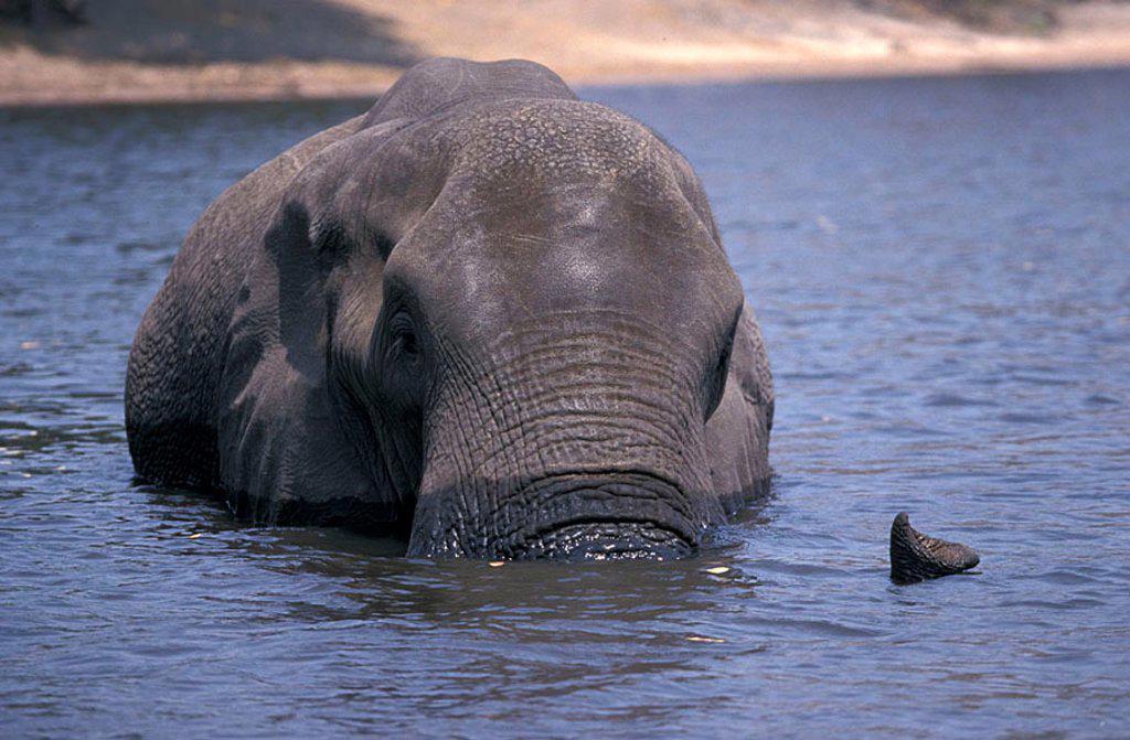 Stock Photo: 4133-1015 African Elephant Loxodonta africana Chobe Nationalpark Botswana Africa