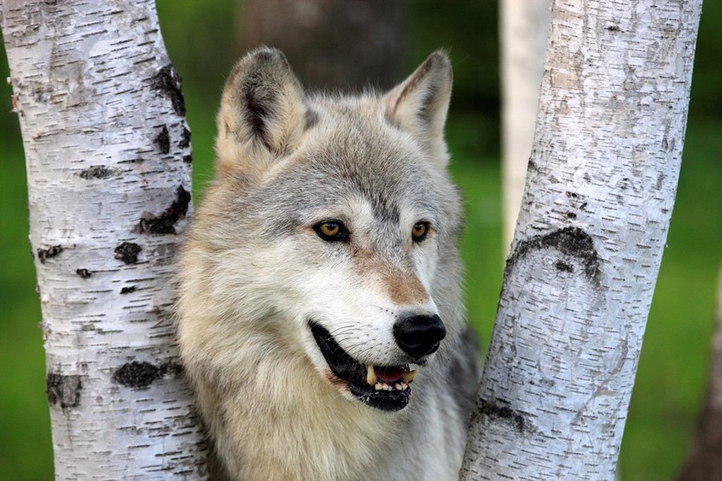 Gray Wolf,Grey Wolf,Canis lupus,Minnesota,USA : Stock Photo