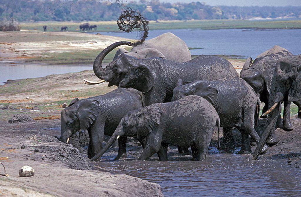 Stock Photo: 4133-10433 African Elephant Loxodonta africana Chobe Nationalpark Botswana Africa