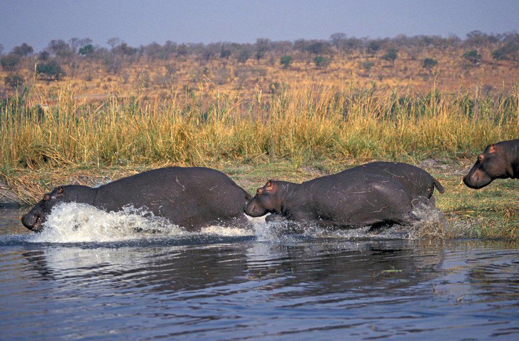 Stock Photo: 4133-10444 Hippopotamus,Hippopatamus amphibius,Chobe Nationalpark,Botswana,Africa