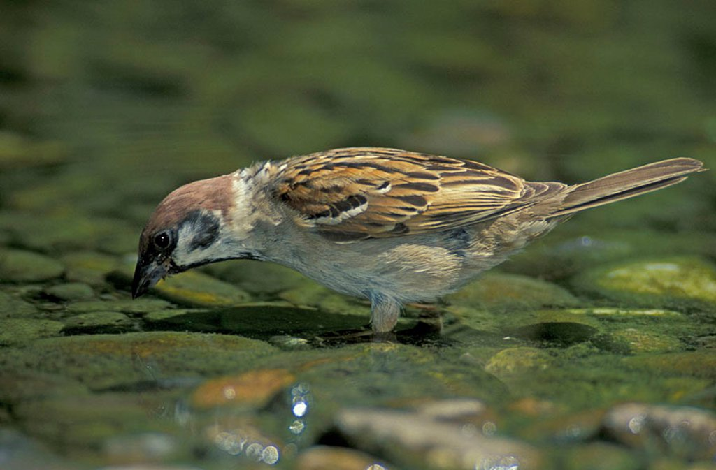 Tree Sparrow Passer montanus Germany : Stock Photo
