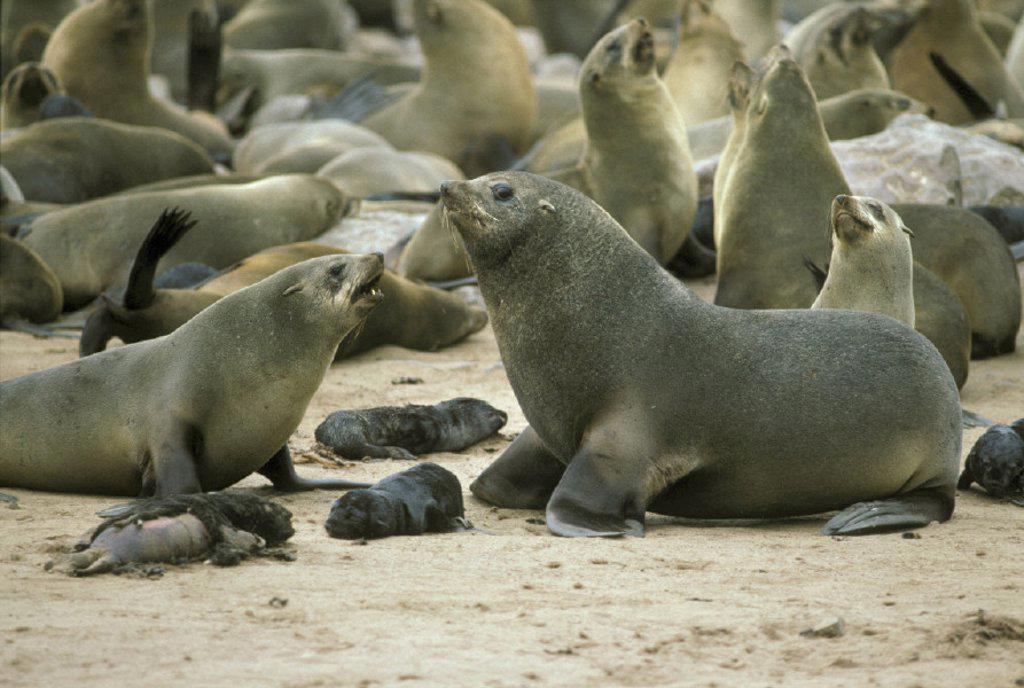 Cape Fur Seal , Arctocephalus pusillus , Cape Cross , Namibia , Africa : Stock Photo