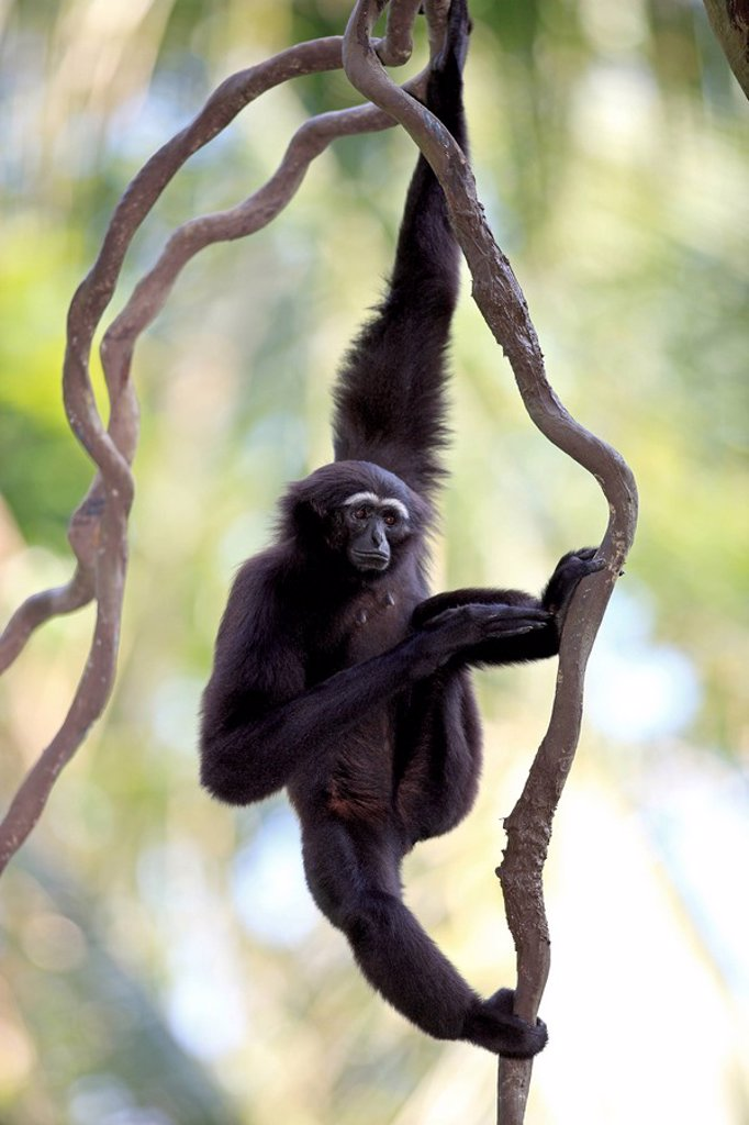 Dark handed Gibbon,Hylobates agilis,Asia : Stock Photo