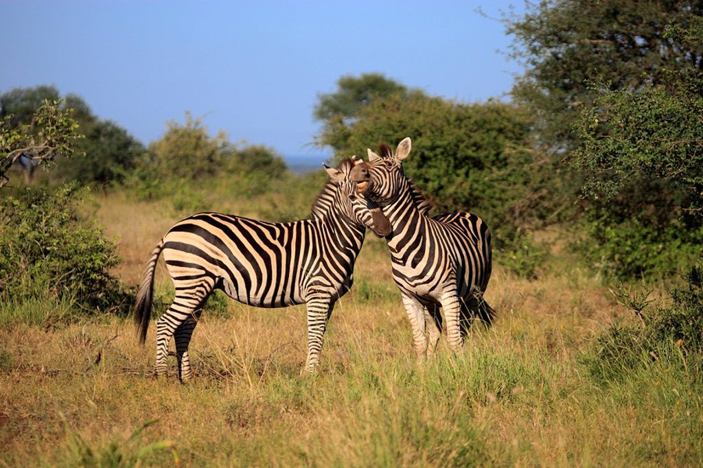 Stock Photo: 4133-10787 Plains Zebra,Burchell´s Zebra,Equus burchelli boehmi,Kruger Nationalpark,South Africa,Africa